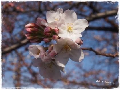 2014 桜ー①
