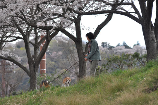 004桜並木散歩3