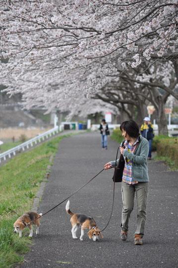 003桜並木散歩2