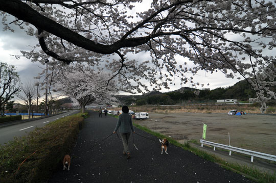 002桜並木散歩1