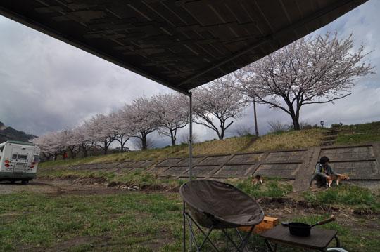009桜を見ながら