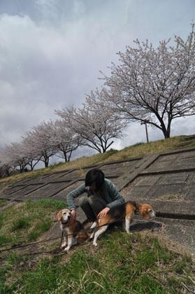 008ななしゅうと桜