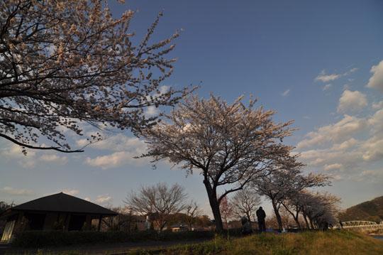 013桜並木