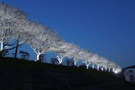 017桜並木ライトアップ