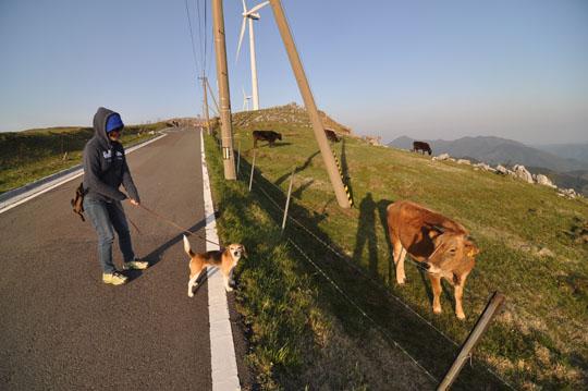 509ジャージー牛としゅう