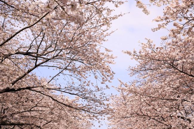 sakura2_2014_5D3.jpg