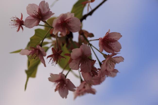sakura5_2014_5D3.jpg