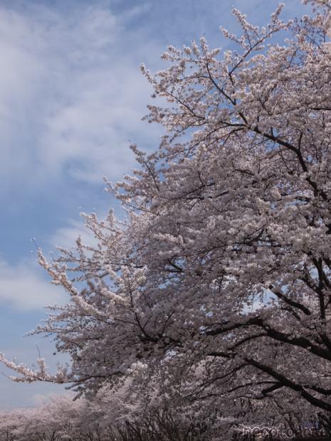 DSCF2826桜1