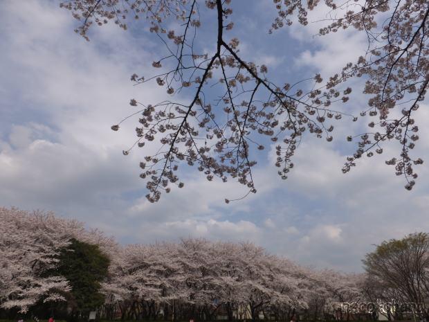 DSCF2884桜3