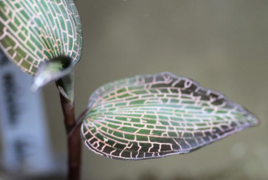 Goodyera reticulata Sabah
