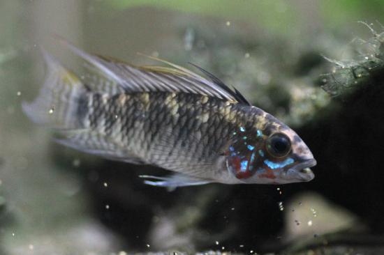 cf.ペルソナータ♂1