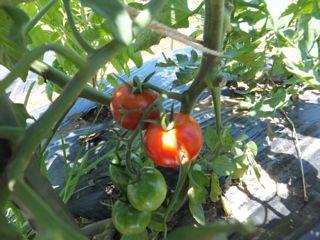 トマト フルティカ