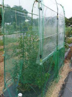 トマト雨除け