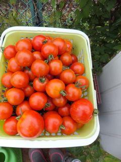 トマト大収穫