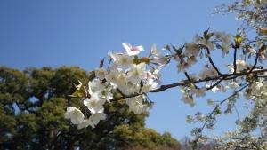 20140323-15ooshimazakura.jpg