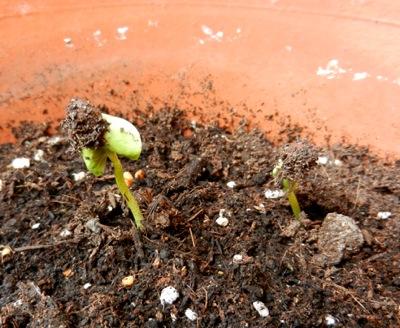 綿の芽:22-1