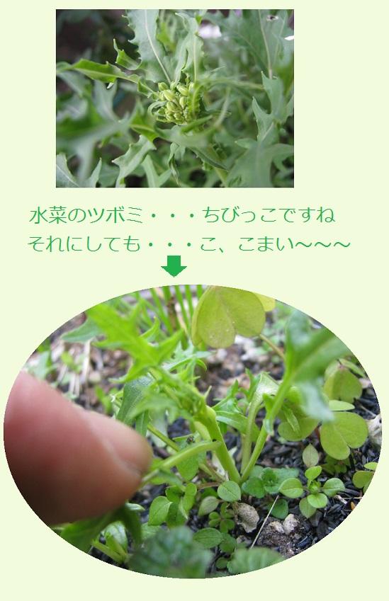 IMG_5101 ミニミニ水菜
