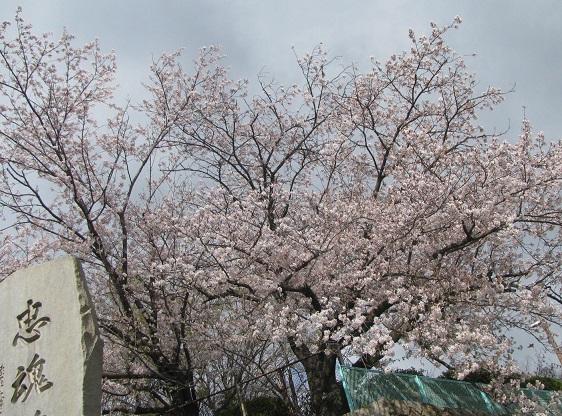 IMG_5286 神社の桜