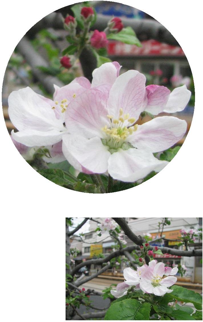 IMG_5423リンゴの花
