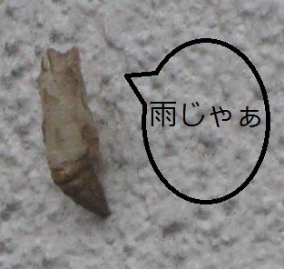 IMG_6413 今日の蛹