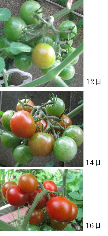 IMG_6612 トマト二日置き