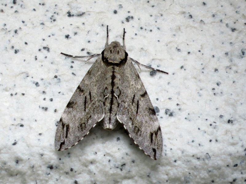 IMG_5771大きな蛾
