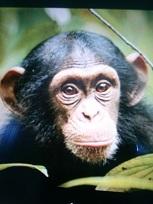 KIMG0567(チンパンジー)