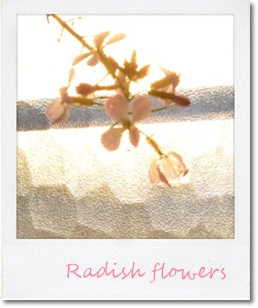 大根の花20140413