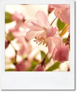 花カイドウ20140408