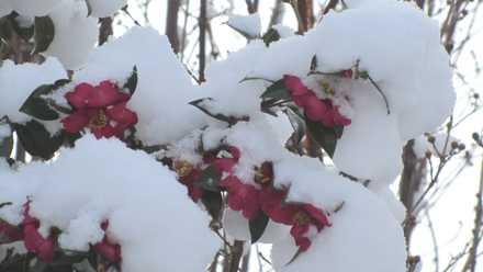 雪と椿 1