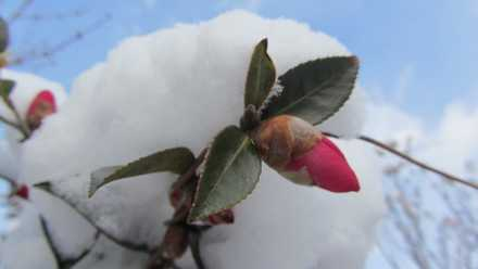 雪と椿 2