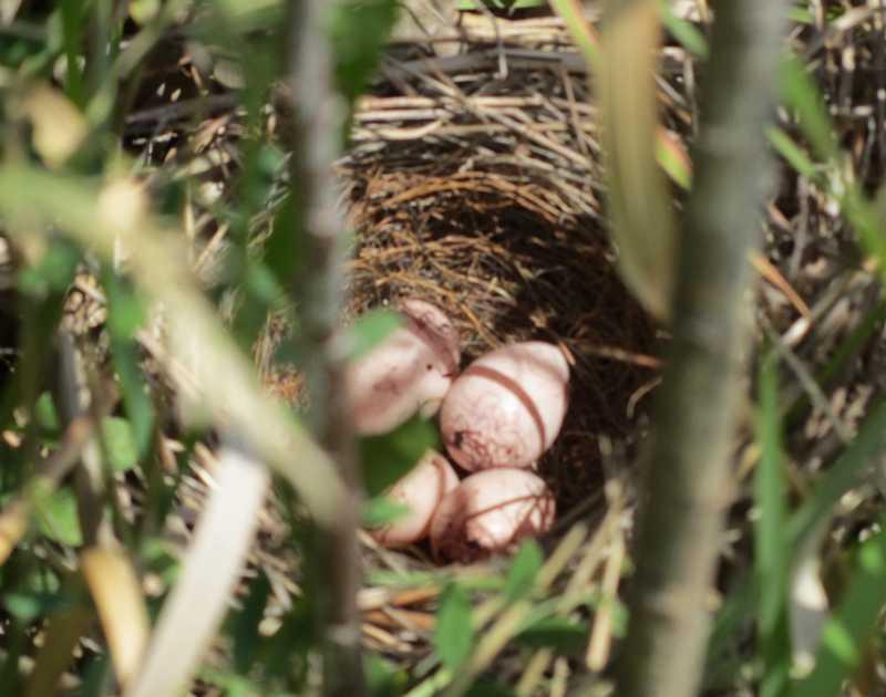 ホオジロの巣 2