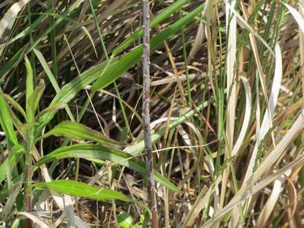 ホオジロの巣 3