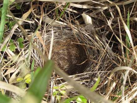 ホオジロの巣