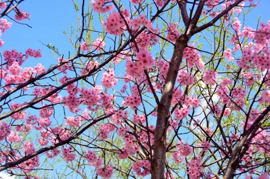 陽光桜と若葉