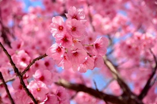 陽光桜 (5)