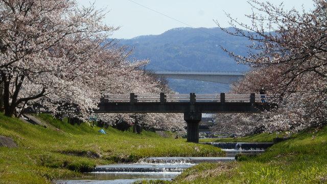 2014_sakura_01.jpg