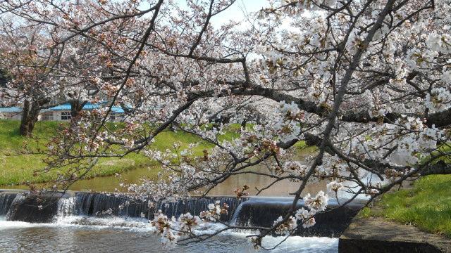 2014_sakura_14.jpg
