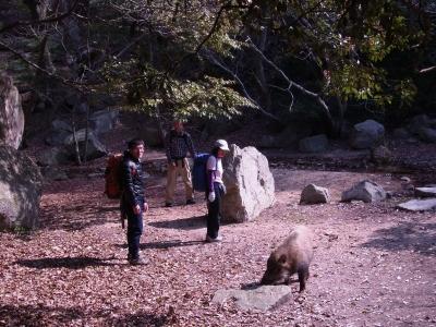 リサイズ-荒地山のイノシシ