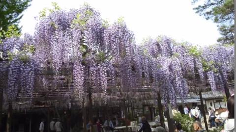 wisteria3.jpg