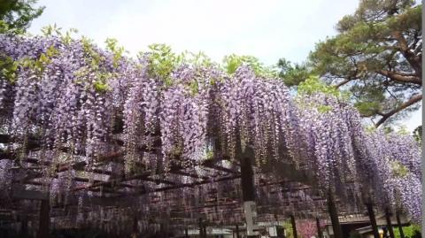 wisteria4.jpg