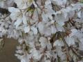 ナンフェア 桜2014