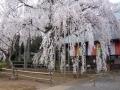 ナンフェア 慈眼寺の桜2014