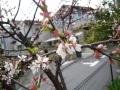 ナンフェア ゆすら梅の花 2014