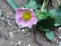 ナンフェア ガーデン いちごの花