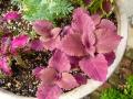 ナンフェア 初夏の寄せ植え コリウス