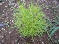 ナンフェア ほうき草