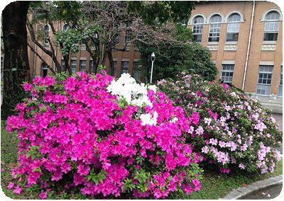 台湾大学洋館とピンク