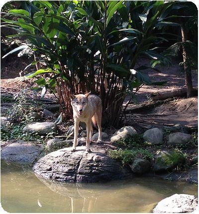 台北市立動物園オオカミ