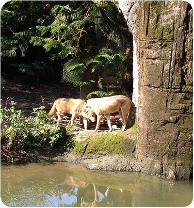 台北市立動物園オオカミ夫婦